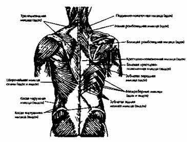 Рис.2 и 3. Мускулы передней и задней стороны туловища, используемые при дыхании