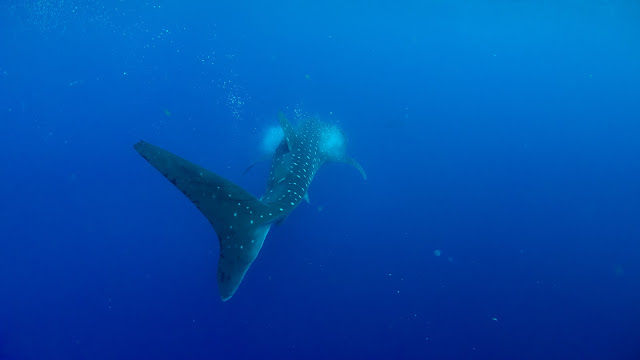 Beautiful fins of amazing whalesharks can be found in Cuba.