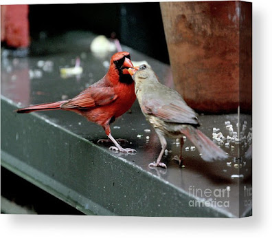 This is a screen shot of a photograph rendered on canvas and available via Fine Art America. It features a male cardinal (left) feeding a female cardinal (right). Info re this print is @ https://fineartamerica.com/featured/cardinal-love-2-patricia-youngquist.html?product=canvas-print