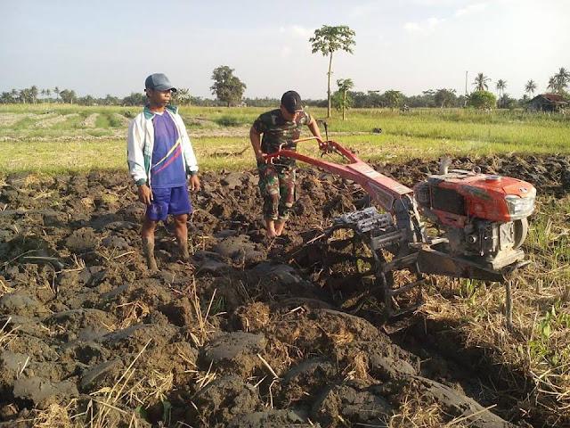 Personil Babinsa Dampingi Petani Mengolah Sawah dengan Traktor di Desa Simodong