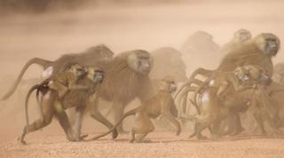 Babon, Guinea