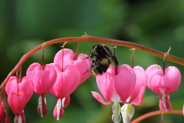 Lamprocapnos spectabilis with bee