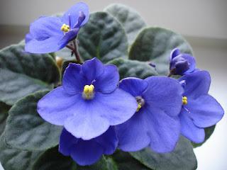 Цветок имени Нина - фиалка