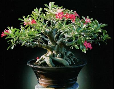 bonsai bunga adenium terbaru