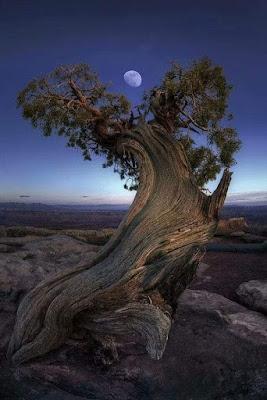 Balfourianae Bristlecone pine