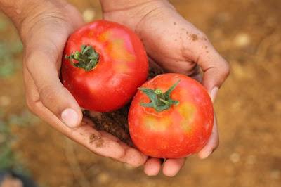На Хмельниччині у помідорах із Туреччини виявили личинки небезпечної томатної молі
