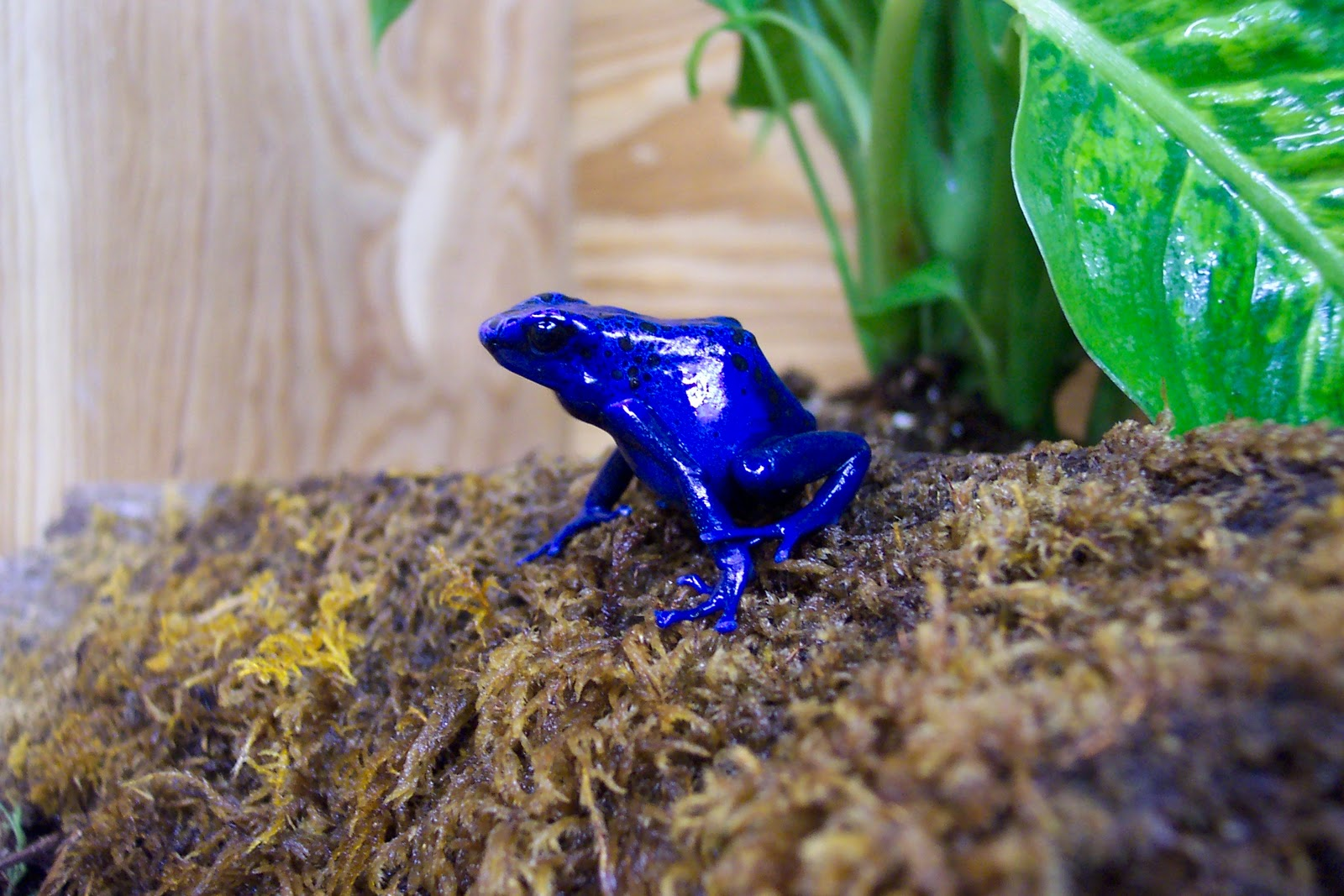 quality the golden dart frog pictures on animal picture society