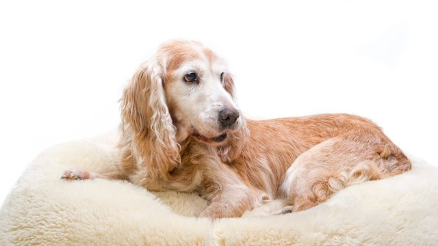 Why Dog Need a Dog Bed to Sleep