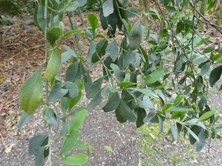 Bois de sable - Indigotier - Indigofera ammoxylum