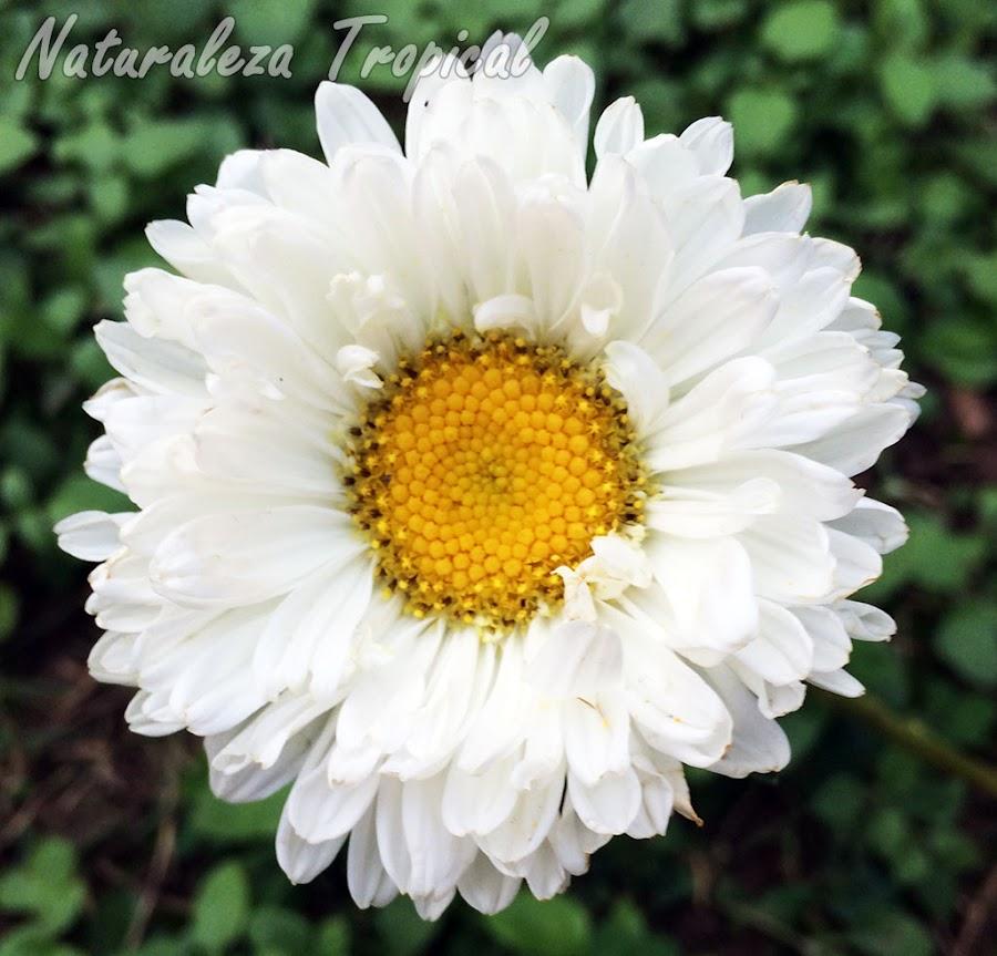 Flor (variedad blanca) de La Reina de las Margaritas o Extraña Rosa, Callistephus chinensis