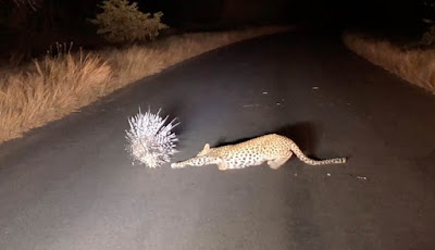 Landak vs macan tutul