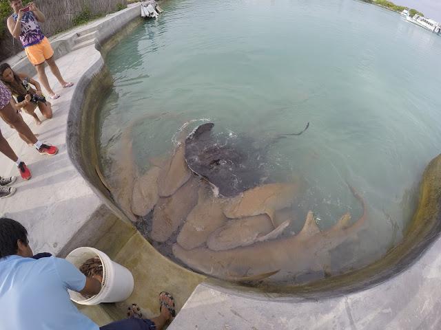 royal island squali del reef maldive