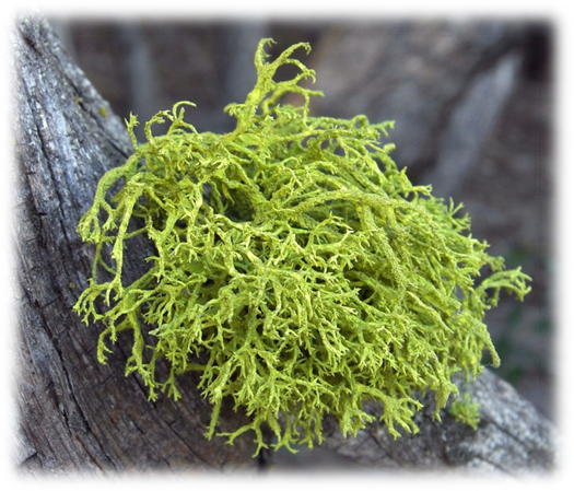 Lichens (Algae + Fungi), nutrition in plants, NCERT Class 7th