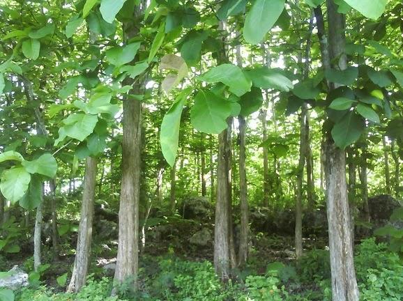 foto pohon jati belanda besar