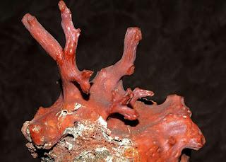 pedras preciosas orgânicas, coral vermelho