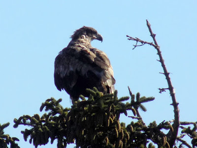 Immature Bald Eagles have white mottling on the underwings and on the tail