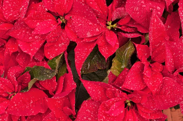 Here are 35 things you probably believe… but are total lies. Everything you thought is wrong - Ingesting poinsettias wont kill you or your pets