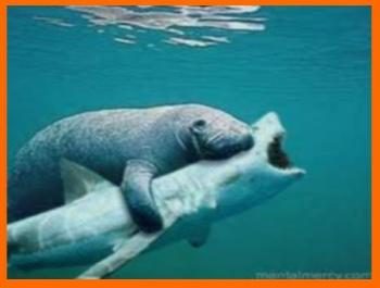 lợn biển cắn cá mập