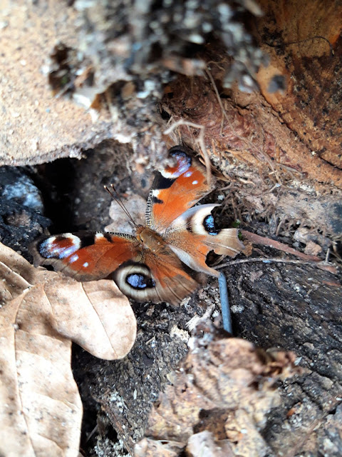 Image shows a peacock butterfly resting on some wooden logs.  One of the wings is torn and it's not looking in the peak of health.
