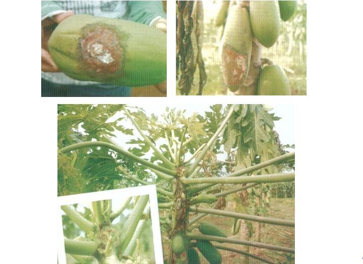 Menangani dan Mengobati Penyakit Antraknosa (Busuk Buah) Pada Buah Pepaya