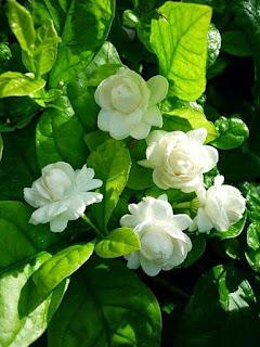 bunga-melati-tuscany.jpg