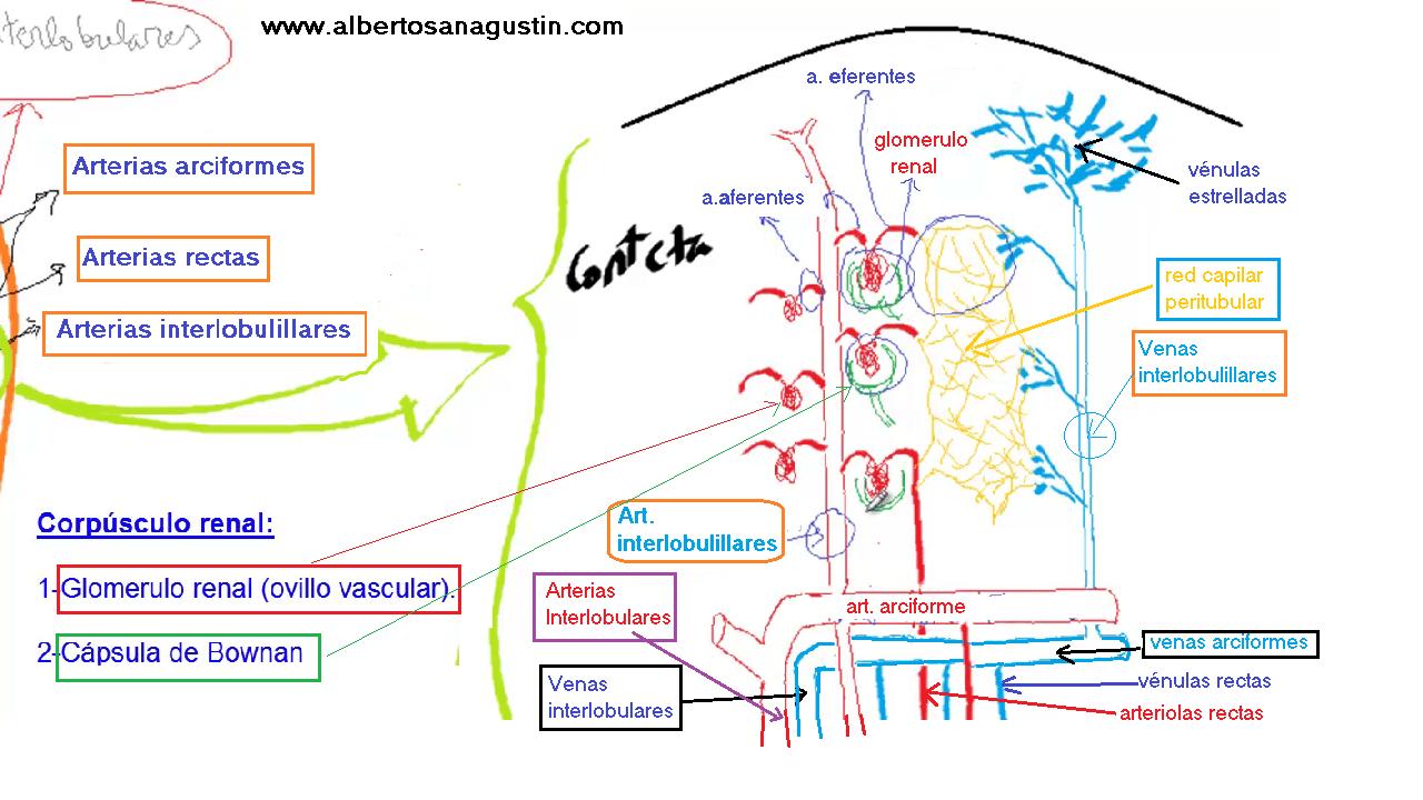 Nefrona y circulación renal
