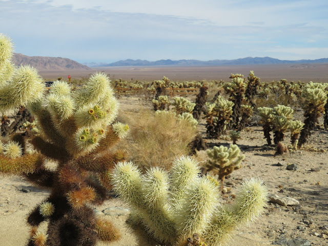 View of Cacti in Joshua Tree Park