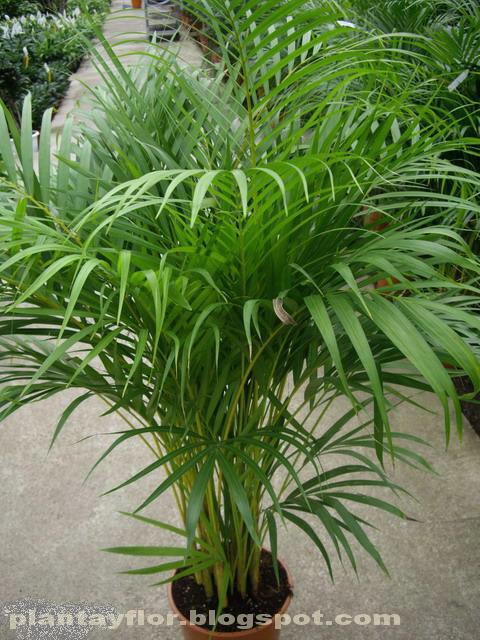 Plantas y flores dypsis lutescens for Plantas de interior tipo palmera