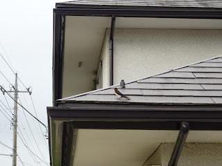 屋根の上で休んでいる1羽目の雛と、すぐ近くで見守る親