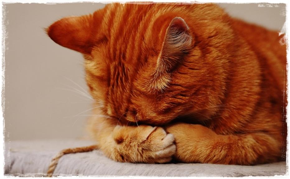 7 Cara Mengobati Kucing Mencret Atau Diare Secara Ampuh