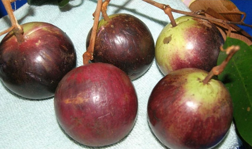 biji benih buah sawo durian 3 biji Jakarta