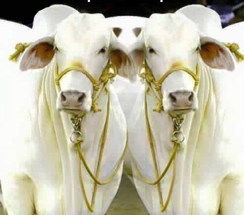 Punganur Cow Advantages, Disadvantages, Characteristics
