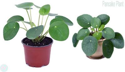 Pancake plant