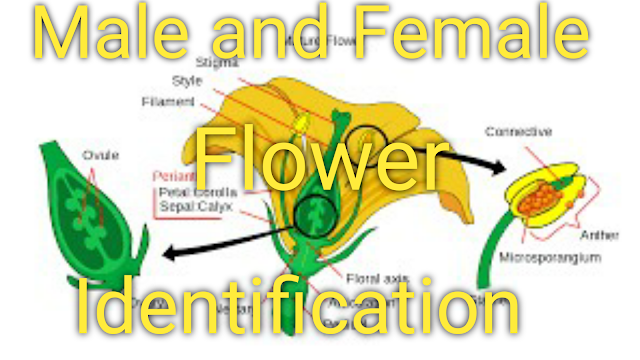 female,male and female flowers,male,male vs female zucchini flowers,flowers,male and female papaya trees indian harbour beach,how to tell female from male squash blooms,flower,zucchini plant flowers and how to pollinate them,the difference between male and female flowers in a zucchini and how to pollinate by hand,female flowerhorn,female cannabis,flower garden,male flowerhorn,how to pollinate zucchinis when there are no bees and butterflies,zucchini flowers,#flowers,flower dissection