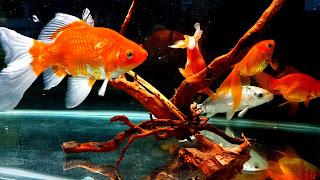 Goldfish Community Aquarium HD Wallpaper