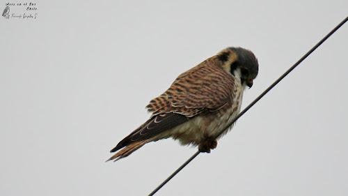Cernícalo (Falco sparverius). Camino a Pargua, Puerto Montt.