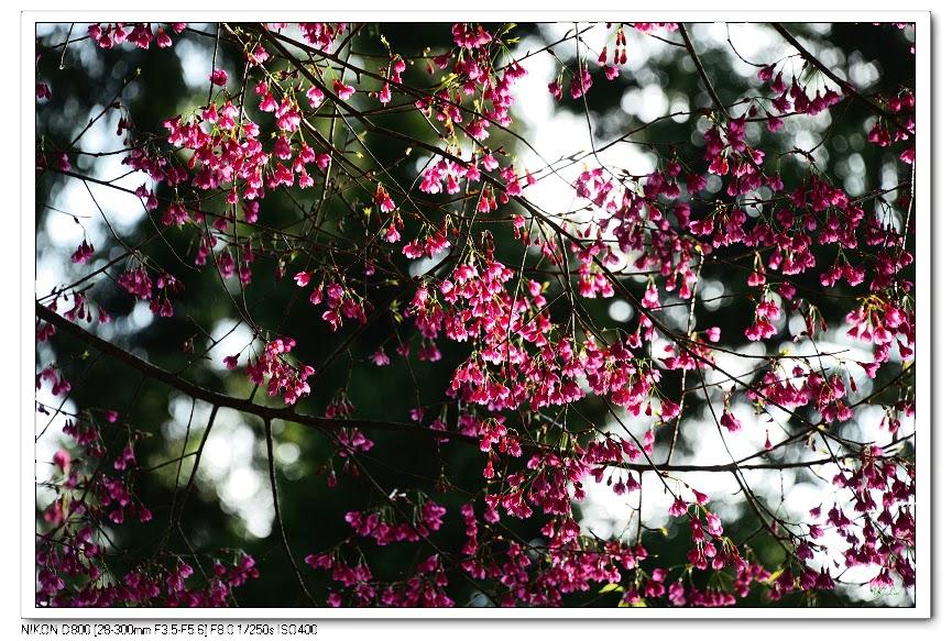 且樂山林: 山櫻花
