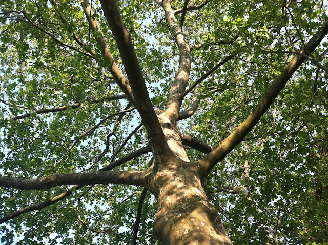 Under-the-Sycamore-Tree-in-Farmingdale