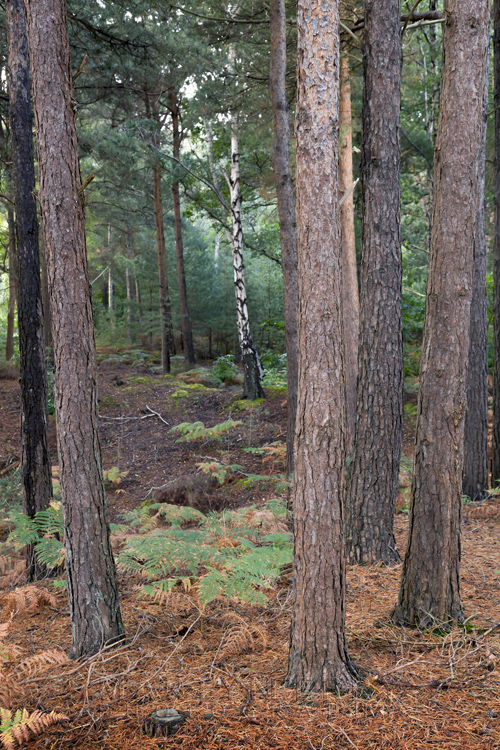 Different types of trees in the woodland of Brownsea Island off the South Coast
