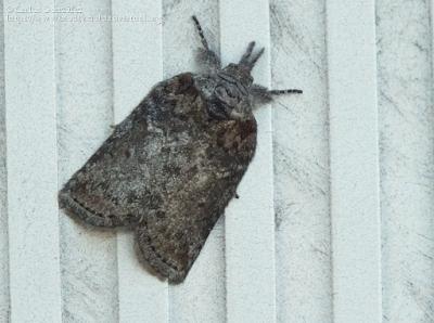 https://www.biodiversidadvirtual.org/insectarium/Nycteola-columbana-img745185.html