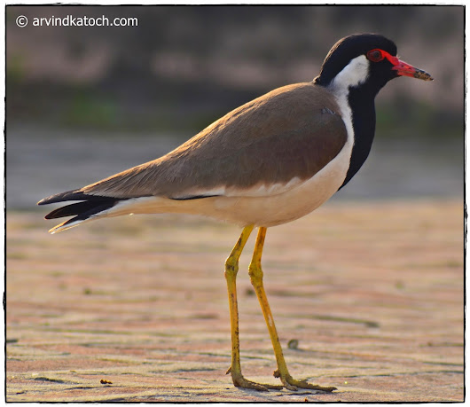The Red-wattled Lapwing Pictures and Detail (A Bird with Lady like Walk)