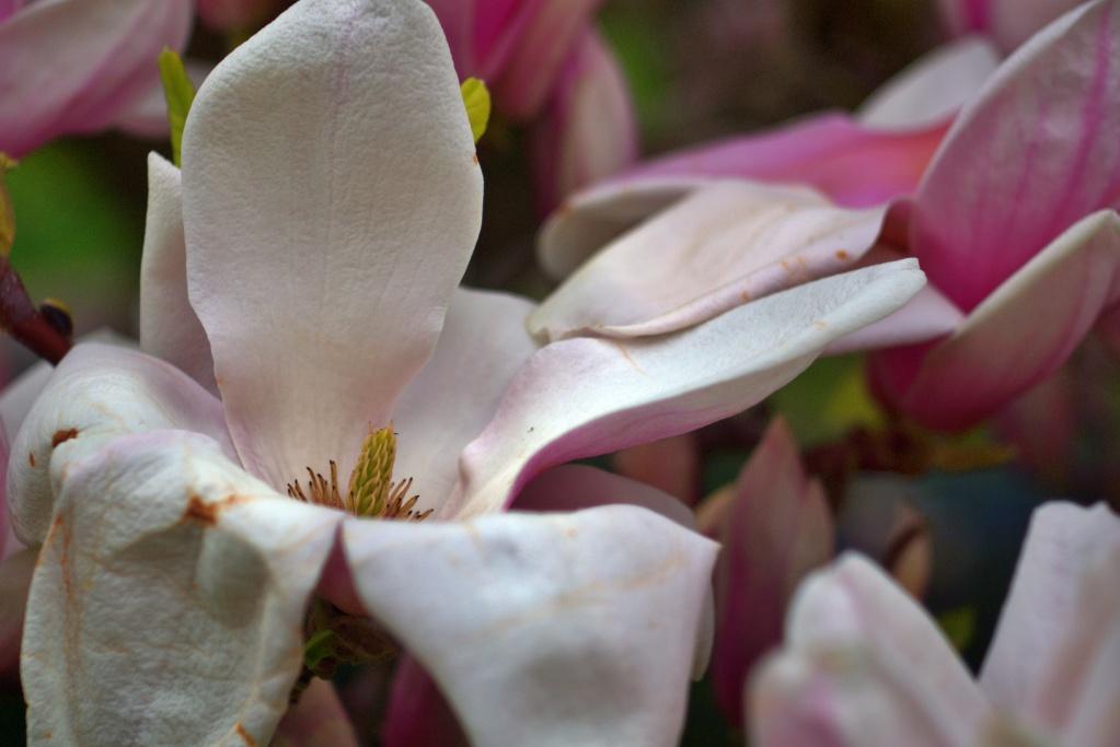 #191 Tessar f2.8 50mm – Magnolienblüte II