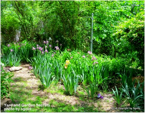 Yard and Garden Secrets/Iris garden clean up