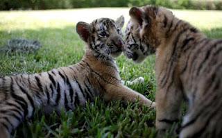 सपने में टाइगर से डरना ▷ fearing tiger
