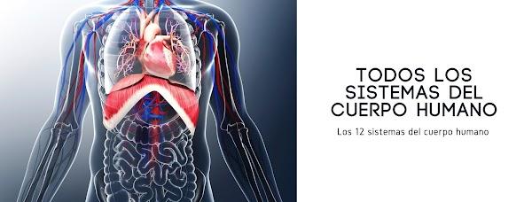 ▷ Los 12 ✅ SISTEMAS del CUERPO humano +Dibujos +Funciones +Partes
