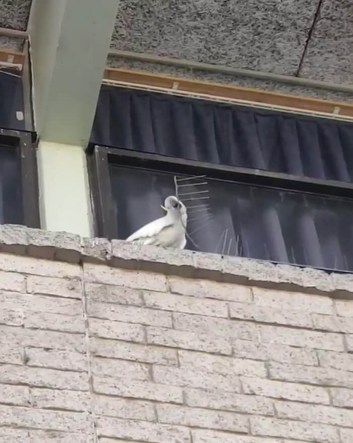 Clever Cockatoo Tore Down Anti-Bird Spikes And Threw Them To The Ground
