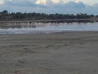 flamingoes on Larnaka Salt Lake