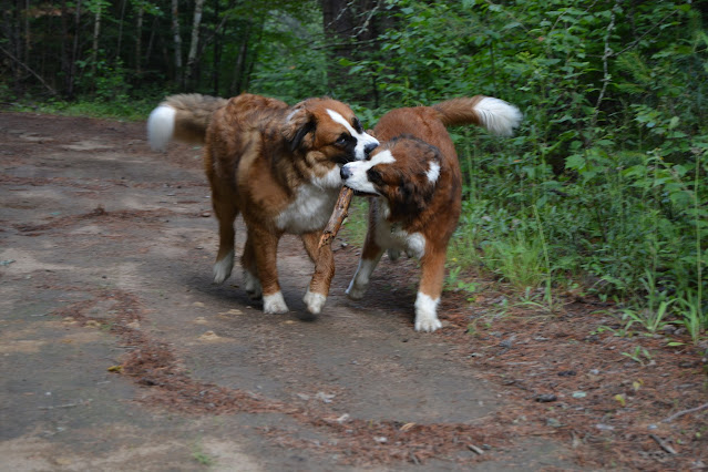 Saint Bernese dog breed