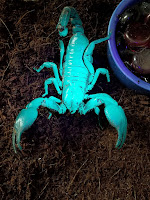 Emperor scorpion glowing under UV light.
