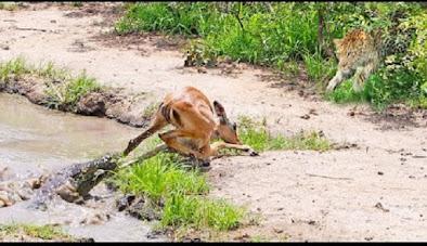 Impala diburu buaya dan macan tutul